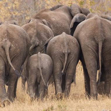 Elefantenärsche